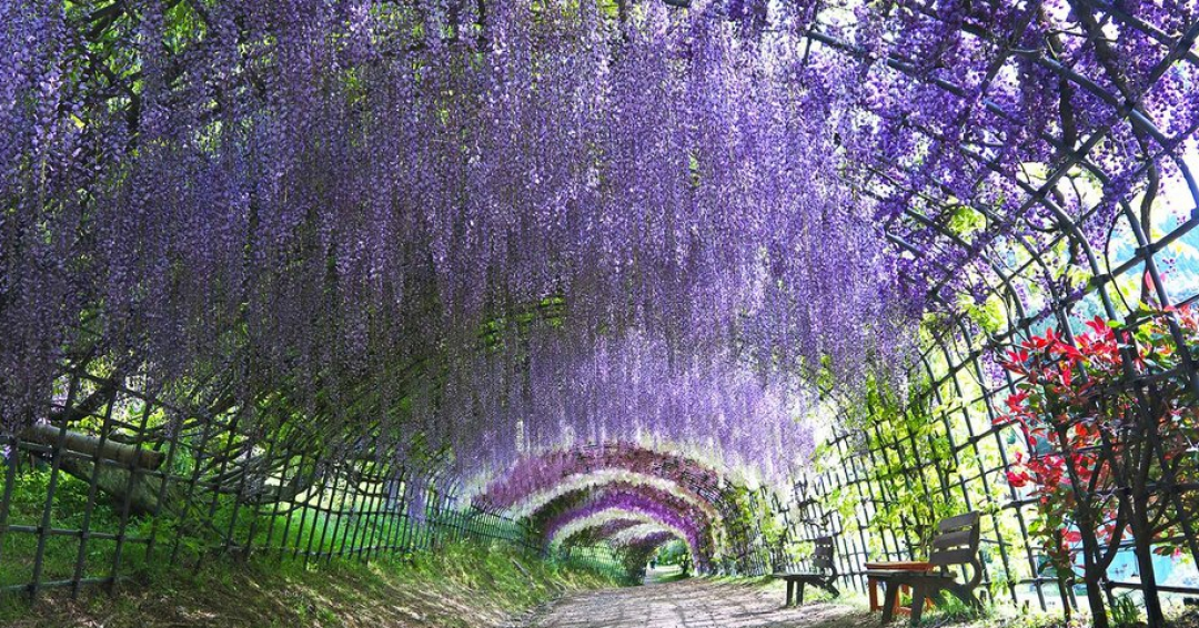 باغ کاواچی فوجی و تونل ویستریا ژاپن - شرکت هواپیمایی پاژسیر مجری تورهای اقساطی از مشهد